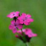 Sweet William (Dianthus barbatus). Bradati karanfil.