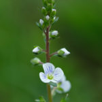 Thyme-leaved Speedwell (Veronica serpyllifolia, bijela čestoslavica)