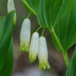 Solomon's seal (Polygonatum multiflorum, salamunov pečat)