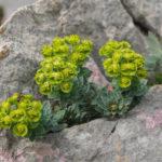 Myrtle spurge (Euphorbia myrsinites, krvavi mlječić)