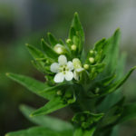 Common gromwell (Lithospermum officinale, ljekovita biserka)