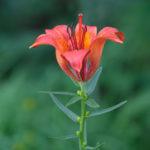 Fire lily (Lilium bulbiferum, lukovičavi ljiljan)