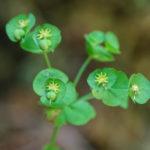 Wood spurge (Euphorbia amygdaloides, bademasta mlječika)