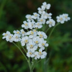 Silvery yarrow (achillea clavennae, bijeli stolisnik)