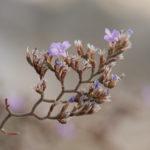 Sea Lavender (limonium cancellatum, rešetkasta mrižica)