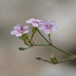 Pale Flax (linum bienne, uskolisni lan)