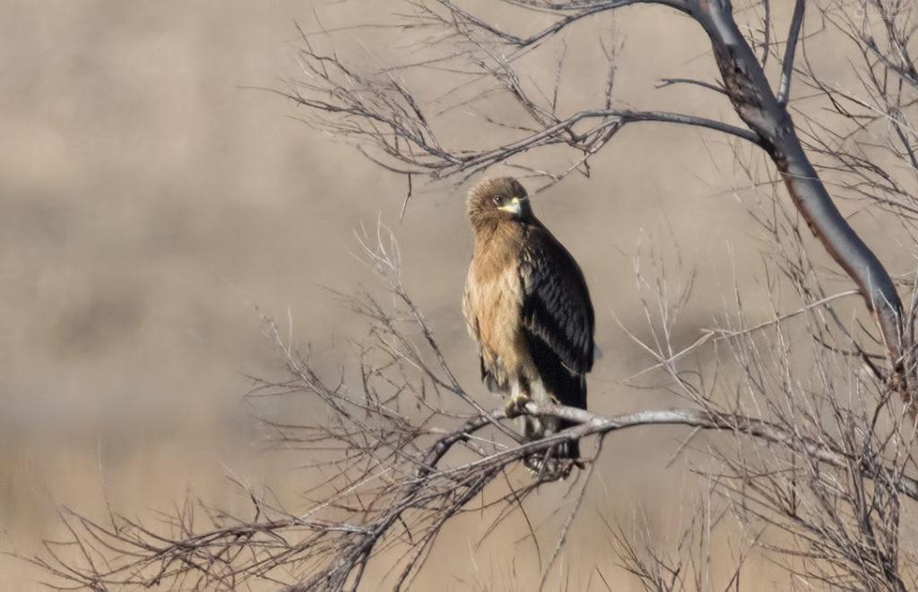 Orao klokotaš (Spotted Eagle), Aquila clanga