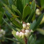 Strawberry tree (Arbutus unedo, maginja ili obična planika)