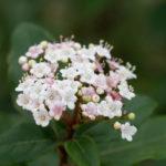 Laurustinus (Viburnum tinus, lemprika)