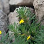 Ground Pine (Ajuga chamaepitys, žuta ivica)