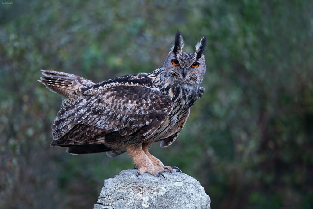 Eurasian eagle-owl (bubo bubo, ušara)