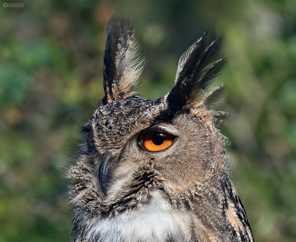 Eurasian eagle-owl, portrait