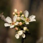 Almond-leaved Pear (Pirus amigdaliformis, divlja kruška)