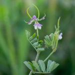 Crown vetch (Coronilla varia, promjenjivi grašar)