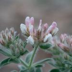 Hairy canary-clover (Lotus hirsutus or Dorycnium hirsutum)
