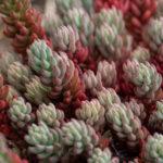 Corsican stonecrop (Sedum dasyphyllum, sočnolisti žednjak)
