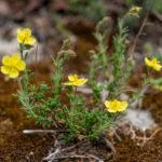 Fumana ericifolia (sunčac)