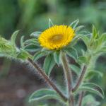 Spiny Starwort (Pallenis spinosa, trnoviti ušac)