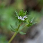 Sherardia (Sherardia arvensis, sitni koljenac)