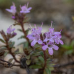 Breckland thyme (Thymus serpyllum, majčina dušica)