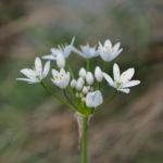 Hairy garlic (Allium subhirsutum, trepavičavi luk)