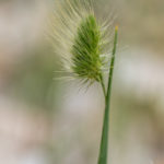 Rough dog's-tail (Cynosurus echinatus, bodljasti krestac)