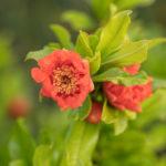 Pomegranate (Punica granatum, zrnati šipak)