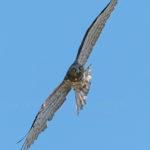 Short-toed snake eagle (Circaetus gallicus, orao zmijar)