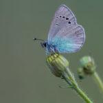 Green-Underside Blue (Glaucopsyche alexis, zelenokrili plavac)