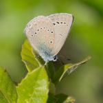 Iolas Blue (Iolana iolas, pucavac)