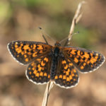 Melitaea trivia (Lesser Spotted Fritillary, divizmina riđa)