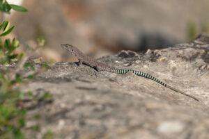 Sharp-snouted rock lizard (Dalmatolacerta oxycephala, oštroglava gušterica)