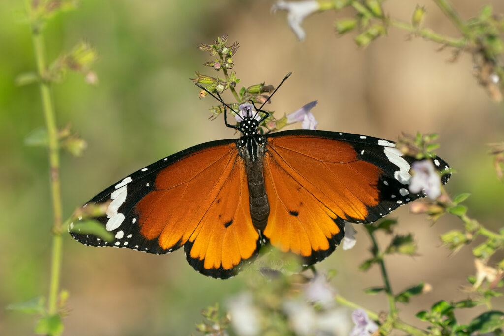Mediteranski monarh, Danaus chrysippus, Plain Tiger
